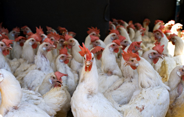 A Crowded Chicken Coop
