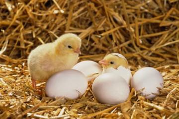 Gà có trước hay trứng có trước?