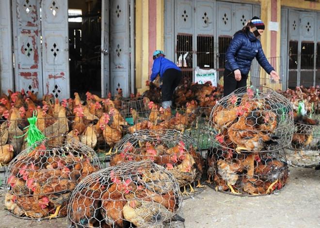 Bán gà vịt sống ở chợ