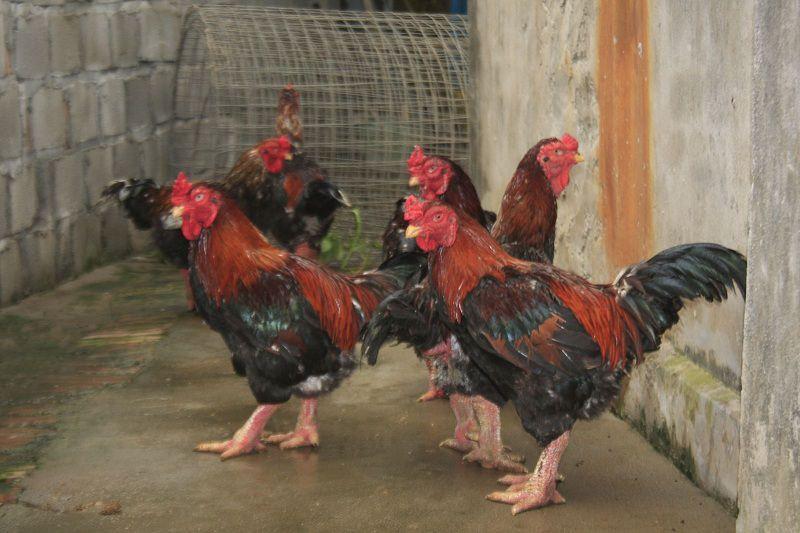 kinh nghiệm nuôi gà Đông Tảo làm giàu (2)