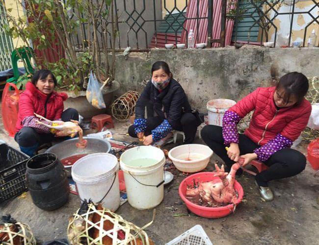 Cách vặt lông gà truyền thống
